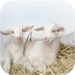 Raising Goats - The Easy Guide To Raising & Caring For Goats